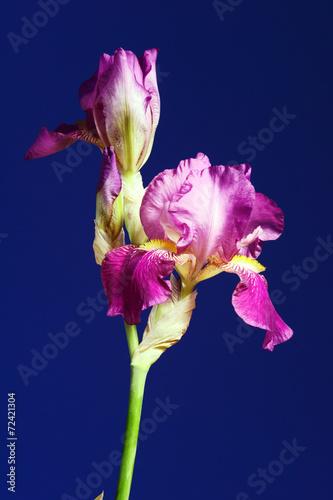 Foto op Canvas Iris purple flower Iris in studio..