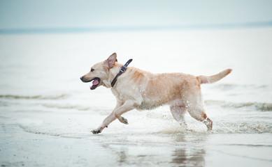 labrador retriever runs in water