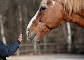 kid hand caressing horse close up