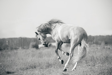 andalusian white horse playing