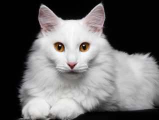 pure white cat on the black background
