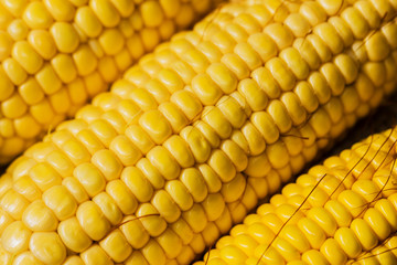 Ears of fresh corn. Close up of sweet corn
