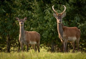 Deer Couple in Killarney National Park,Kerry,Ireland