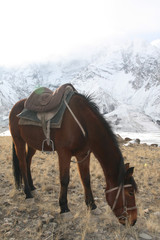 Bay Kyrgyz horse with saddle grazing in the mountains