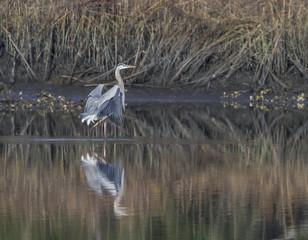 Great Blue Heron Landing 3
