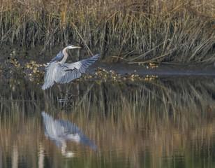 Great Blue Heron Landing 1