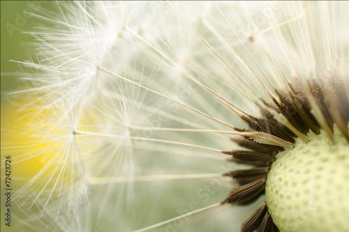 dandelion - 72428726