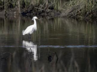 Snowy Egret Wading in Creek