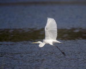 Great Egret in Flight over Creek