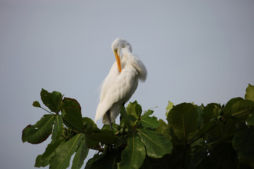 White Heron cleans beak feathers on the tree