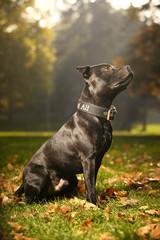 Lovely Staffordshire bull terrier in park