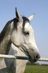 Close-up of a gray arabian horse in summer paddock