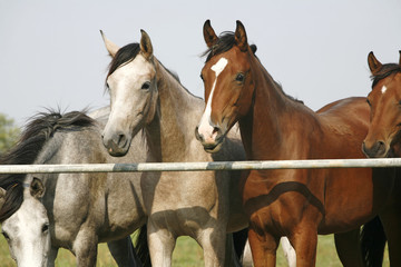 Two arabian youngster looking over corral gate at summertime