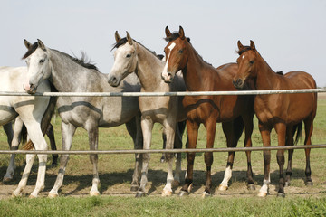 Four arabian youngster looking over corral gate at summertime