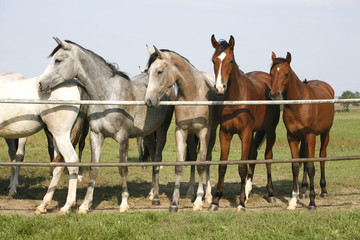 Four arabian youngsters looking over corral gate