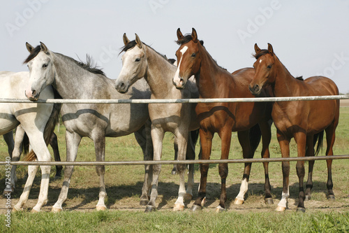 Papiers peints Chevaux Four arabian youngster looking over corral gate at summertime