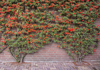 Flowered Vine on Brick Wall