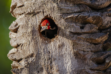 Male Crimson-Crested Woodpecker Peeking Out of Nest
