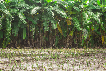 taro and banana plantations