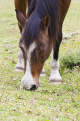 Brown horse with white markings