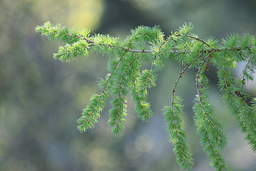 background green branches larch