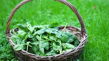 Basket of spinach