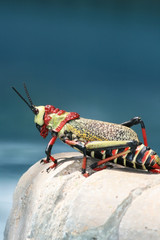 Great African grasshopper sitting on the edge of the pool