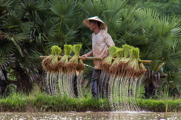 Thailand farmers are preparing rice seedlings for planting seaso