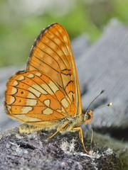 Butterfly (Melitaea) 2