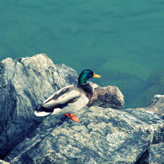 duck on the lake Geneva