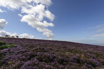 heather hill  in moor , Exmoor