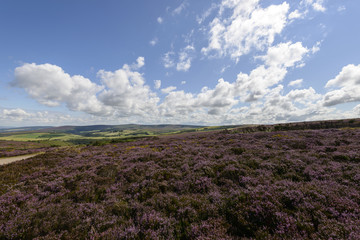 heather field and hilly country, Exmoor