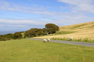 sheep on a road in the moor, Exmoor