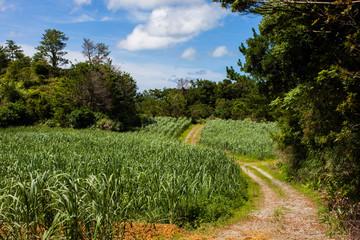沖縄 サトウキビ畑
