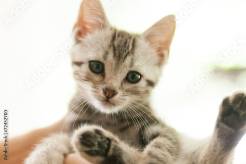 猫 アメリカンショートヘア