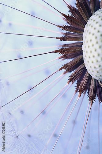 Fototapeta dandelion seeds macro ease