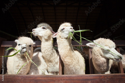 Staande foto Lama llama alpacas eating ruzi grass in mouth rural ranch farm