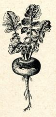 Turnip (Brassica rapa)