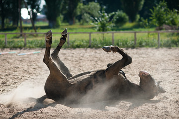 Dark colored stallion rolling in the sand