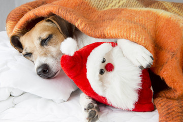 happy dog sleeps hugging a toy Santa Claus