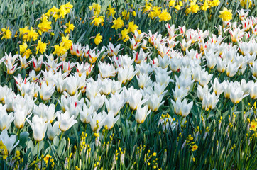Beautiful white tulips and narcissus close-up.