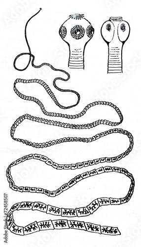Pork tapeworm (Taenia solium) - 72458507