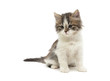 little fluffy kitten sits on a white background close-up - 72460747
