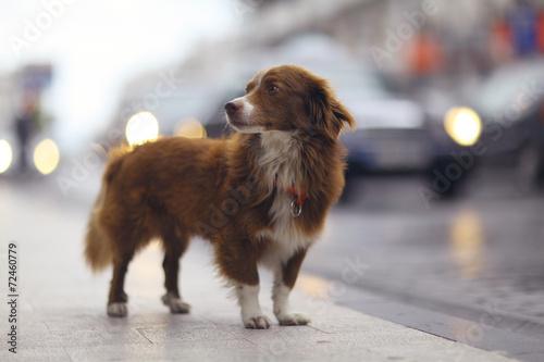 Papiers peints Chien little redhead cute dog on the street