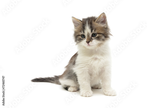 Poster little fluffy kitten sits on a white background close-up