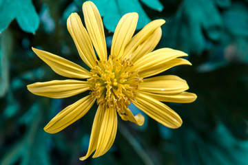 macro photography of yellow margeritte flower