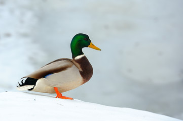 Mallard Duck on Snow Slope