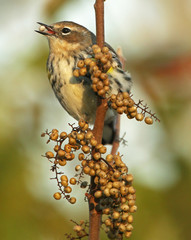 Female Yellow-Rumped Warbler With Seed