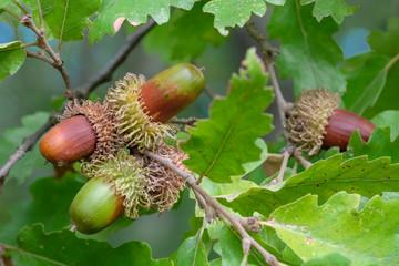 Ghiande della quercia