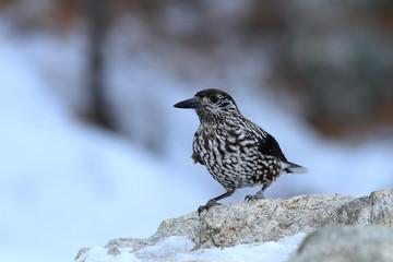uccello passeriforme nocciolaia famiglia dei corvidi